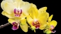 Preview: Vlies Fototapete 1470 - Orchideen Tapete Orchidee Blume Pflanze Blätter Blüte Knolle gelb