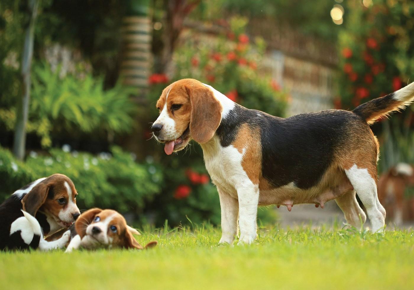 Vlies Fototapete 4499 Natur Tapete Hund Tier Haus Gras Wiese Freund Garden Beagle Natural