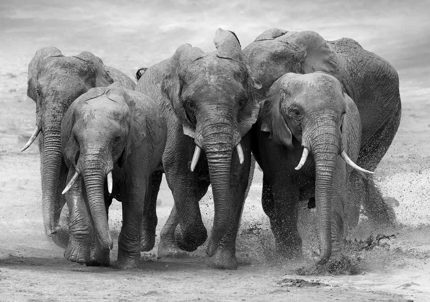 Vlies Fototapete 4578 Natur Tapete Tier Elefant Afrika Natur Herde Schwarz Weiß