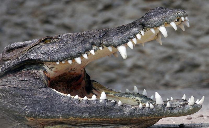 Krokodil Zähne